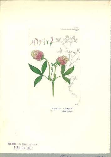 Flora-Danica-Seite-aus-Buch